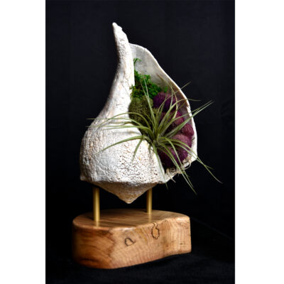 whelk conch shell and air plant living sculpture on maple base