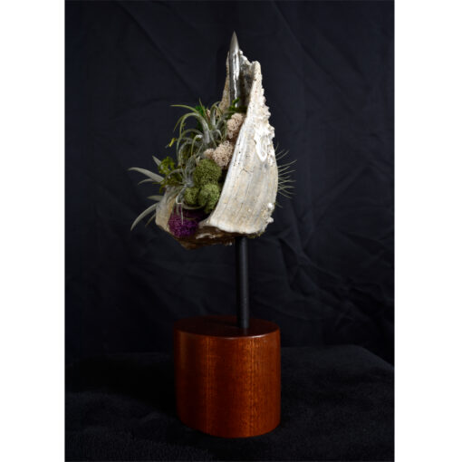 Whelk Conch Shell and Air Plant Living Sculpture